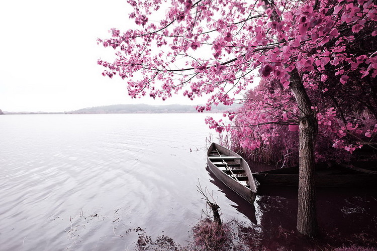 Tableau sur verre Pink World - Blossom Tree with Boat 1
