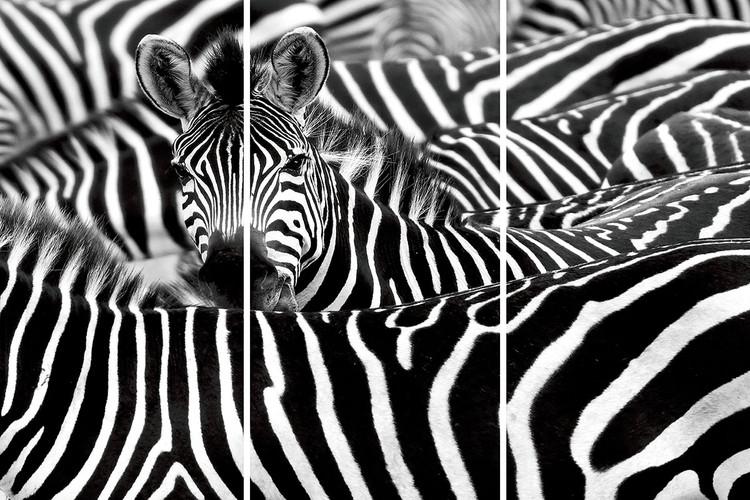Tableau sur verre Zebra - Many Zebras