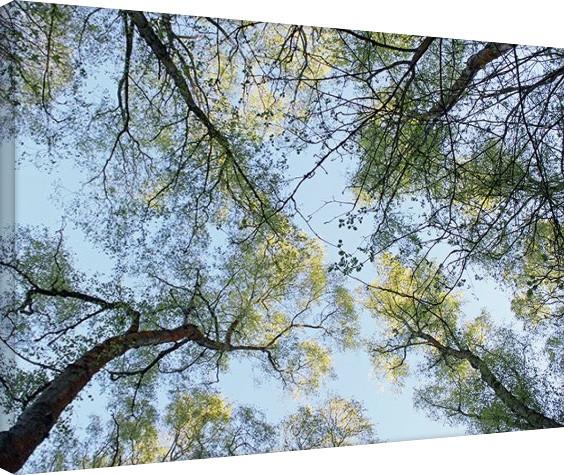 Tela Alyson Fennell - Spring Morning Tree Tops