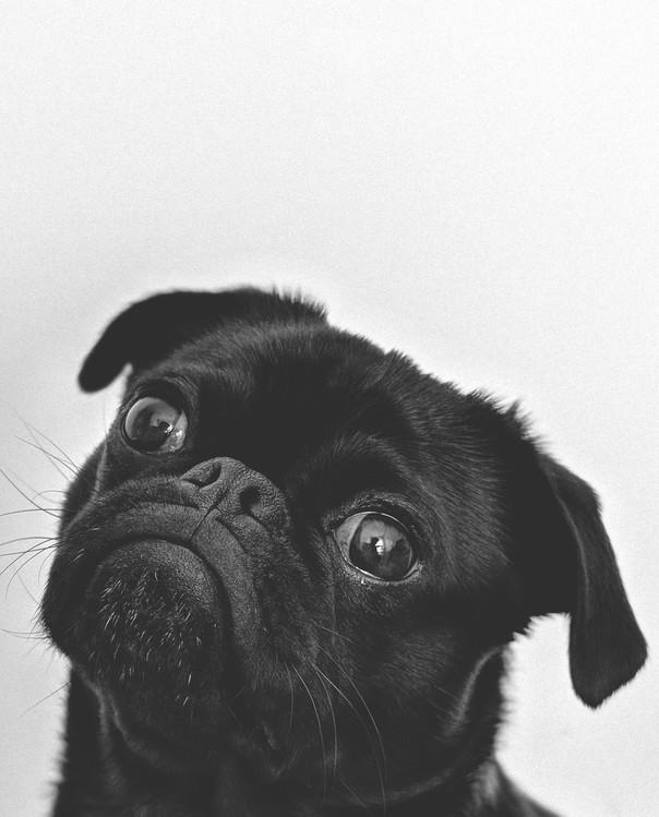 Valokuvatapetti doghead