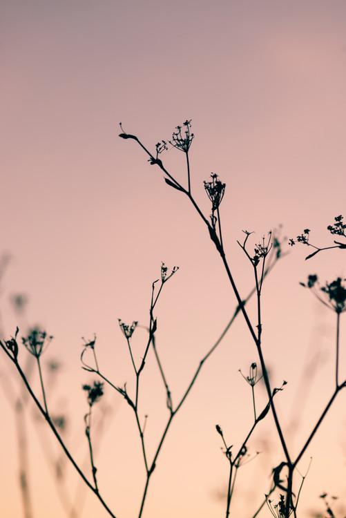 Valokuvatapetti Dried plants on a pink sunset