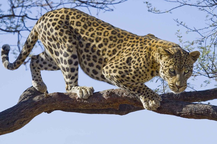 Leopard Tree Poster Mural