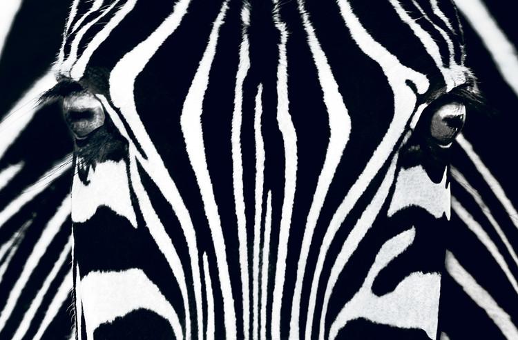 Zebra - Black & White Poster Mural