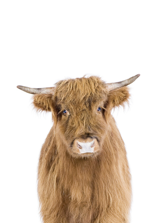 Wallpaper Mural Baby Highland Cow
