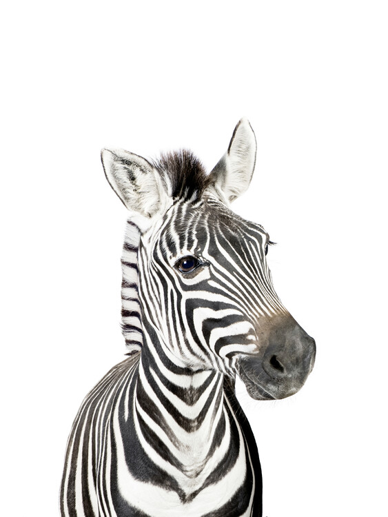 Wallpaper Mural Baby Zebra
