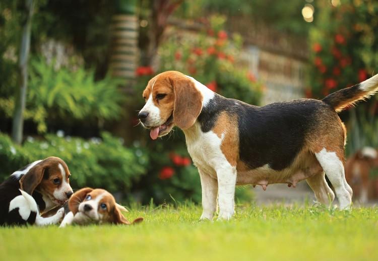 Beagle Dog Wallpaper Mural