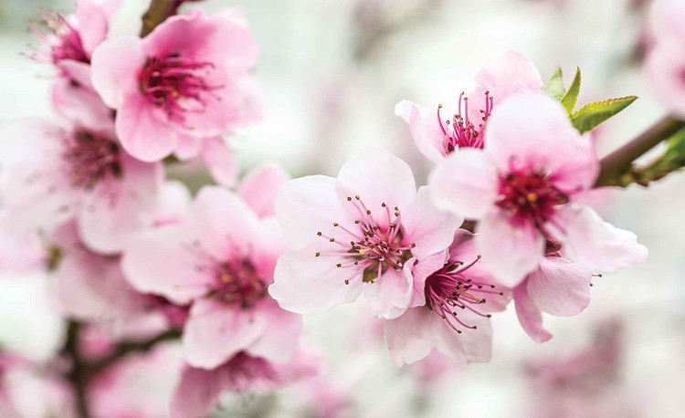 Cherry blossom flowers wall paper mural buy at europosters cherry blossom flowers wallpaper mural mightylinksfo