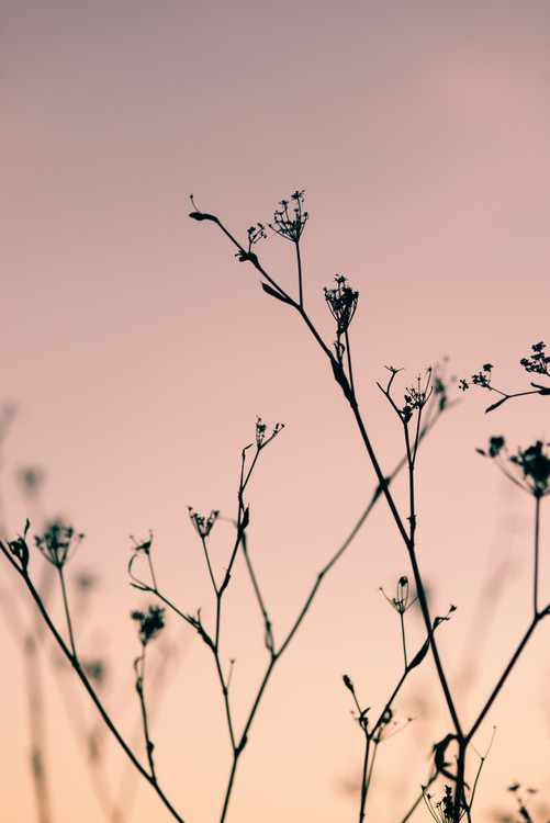 Wallpaper Mural Dried plants on a pink sunset