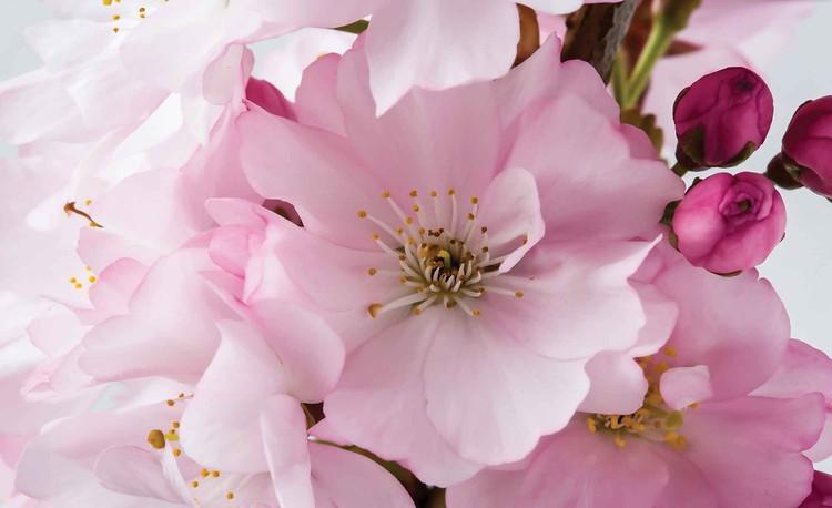 Flowers Blossoms Nature Pink Wallpaper Mural