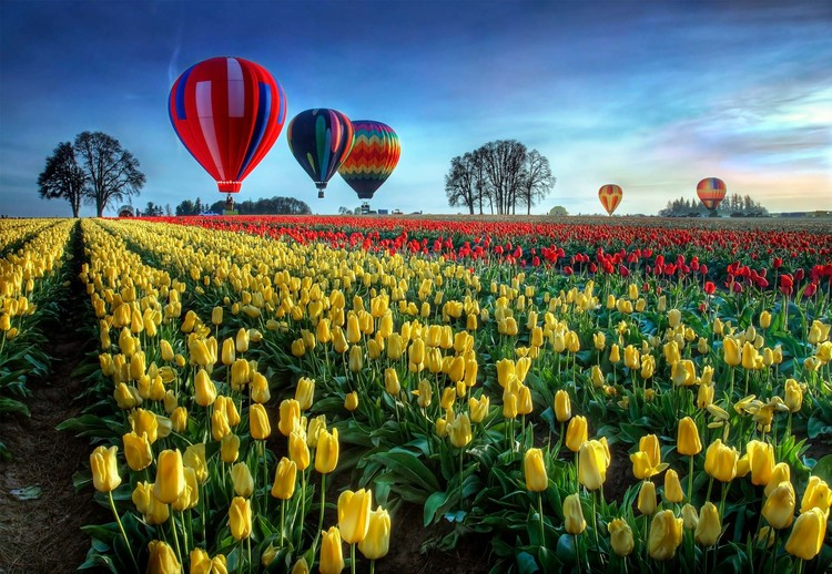 Hot Air Balloons Over Tulip Field Wallpaper Mural