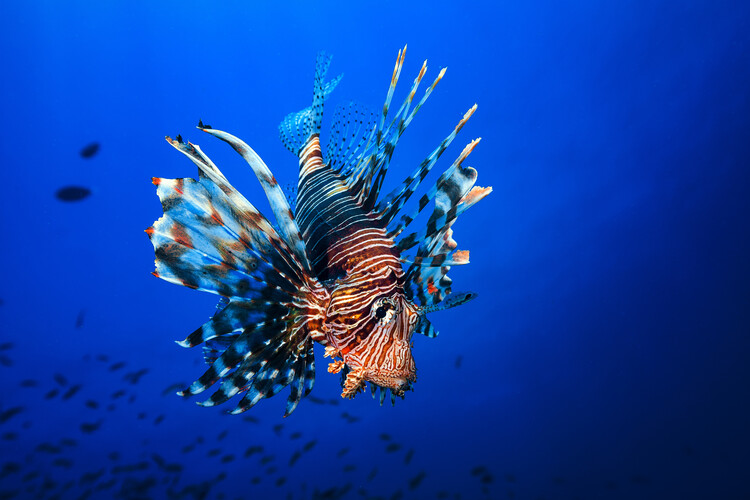 Lionfish Wallpaper Mural