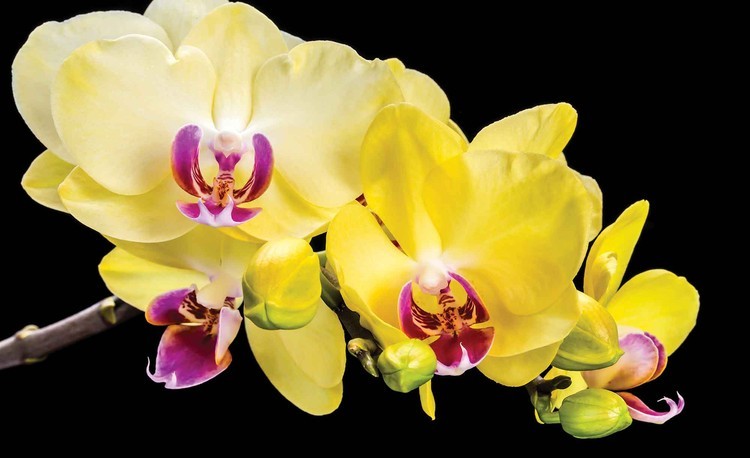 Orchid Flowers Wallpaper Mural