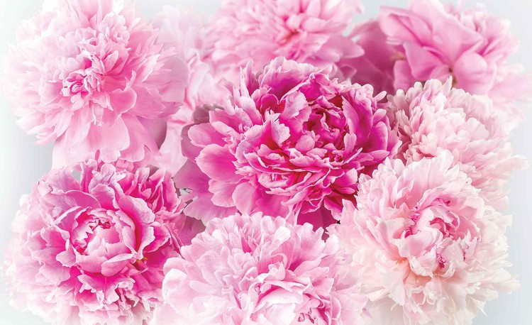 Pink Carnations Wallpaper Mural
