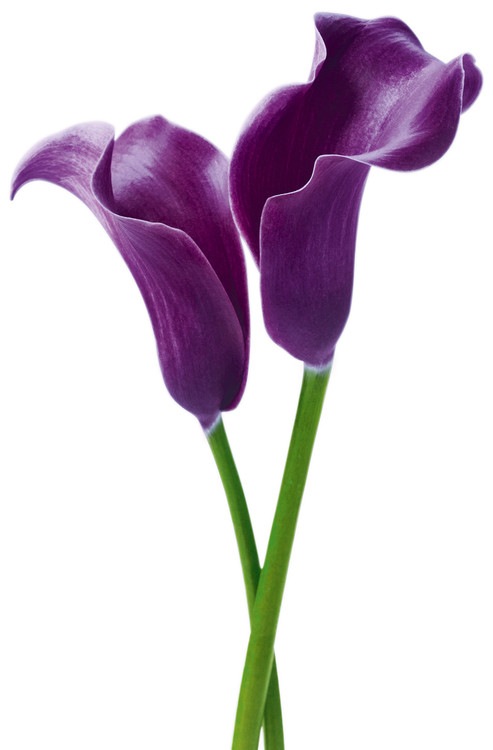 PURPLE CALLA LILIENS - innes yvor Wallpaper Mural