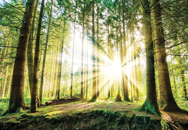 Sunrise Through The Forest Trees Wallpaper Mural