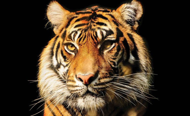 Tiger Wallpaper Mural