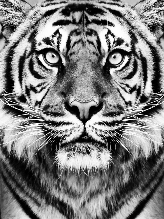Wallpaper Mural Tiger BW