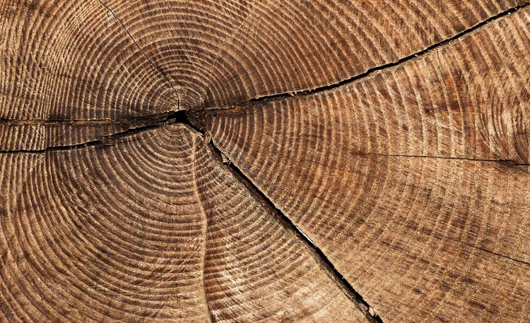 Tree Stump Rings Wallpaper Mural